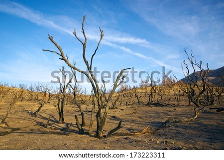 Charred tree trunks all that remain after a southern California forest fire. - stock photo