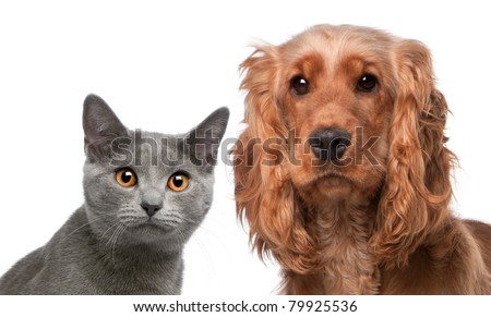 Chartreux cat, 5 months old, and a English Cocker Spaniel, 2 years old, in front of white background - stock photo
