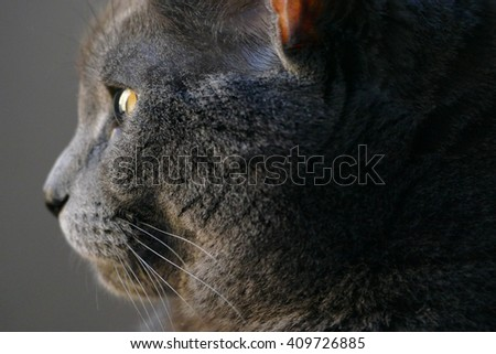 Chartreux Cat (6 years old, female) in profile in natural sunlight