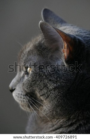 Chartreux Cat (6 years old, female) vertical profile in natural sunlight
