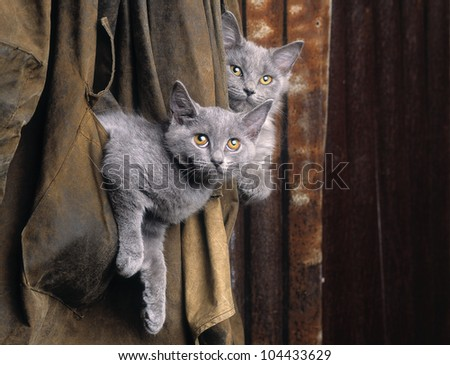 Chartreux cats in old coat - stock photo
