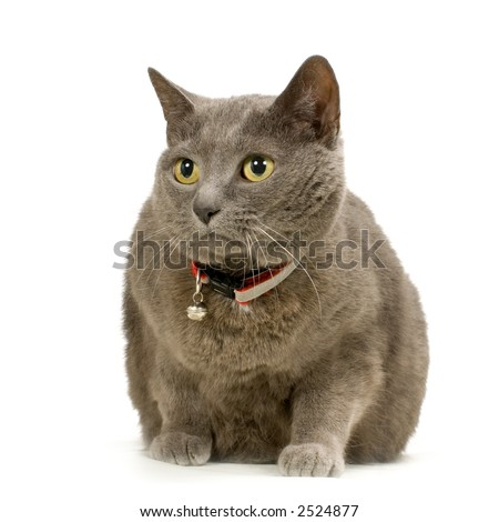 Chartreux in front of a white background - stock photo