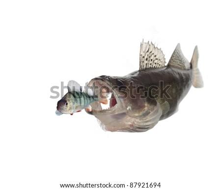 chasing perch  zander on white background - stock photo