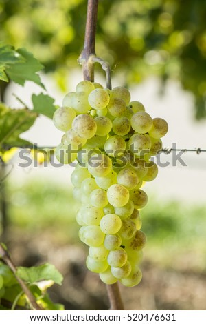 Chasselas Grape Is Ready To Harvest In The Vineyard