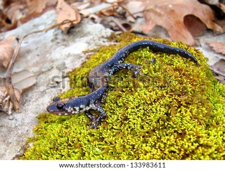 Chattahoochee Slimy salamander, Plethodon chattahoochee, on moss near a mountain spring - stock photo