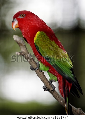 Chattering Lory 3 - stock photo