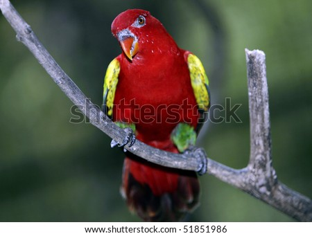 Chattering Lory 6 - stock photo