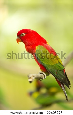 Chattering Lory resting on a twig - stock photo