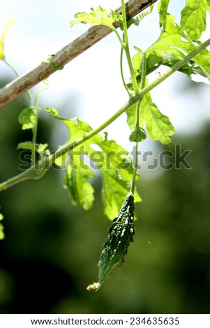 Chayote in nature - stock photo