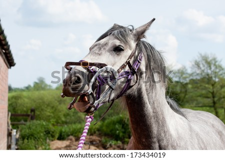 Check up-Beautiful grey horse with her mouth clamped open being treated by equine dentist - stock photo