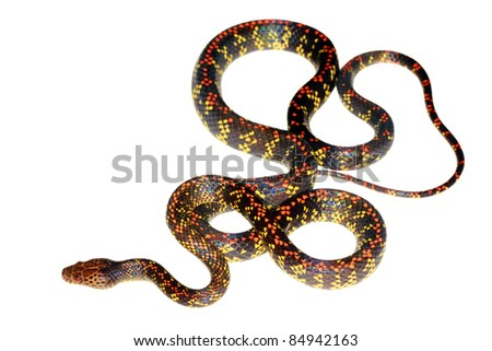 Checkerbelly Snake (Siphlophis cervinus), a rare South American species