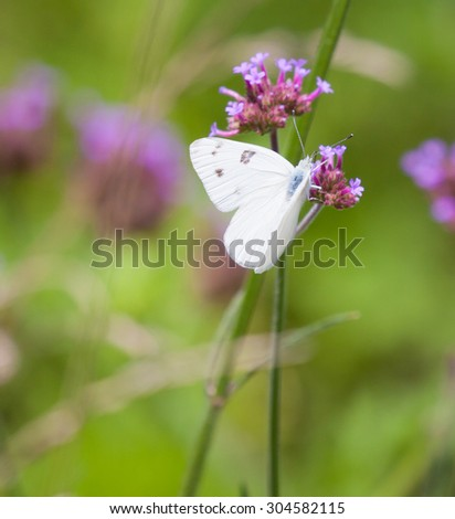 Checkered White Butterfly (Pontia protodice) on Purpletop Vervain - stock photo