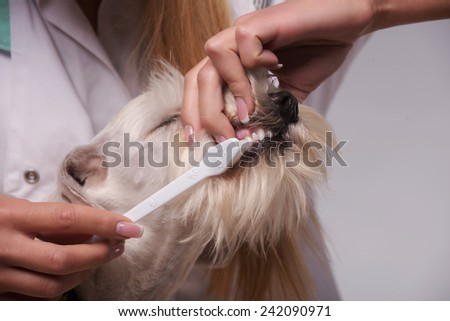 Checking how healthy your pet is.  Closeup of a female vet checking the teeth of a very unimpressed canine while standing against grey background - stock photo