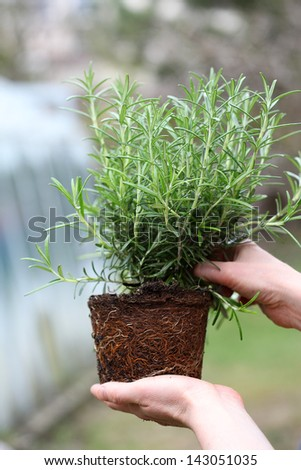 Checking rosemary seedling with roots before planting