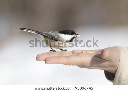 Cheeky Chickadee takes peanuts from the hand - stock photo