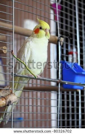 Cheeky Cockatiel parrot in home - stock photo