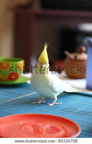 Cheeky Cockatiel parrot on table - stock photo