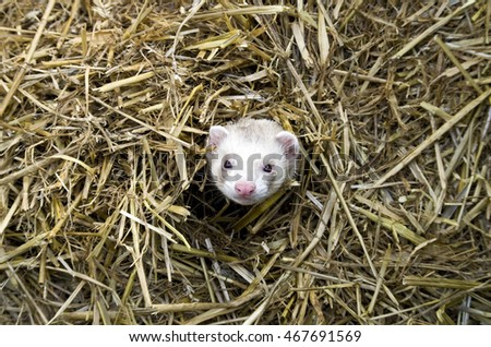 Cheeky Ferret Popping Head Through Hay and Straw