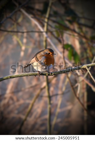 Cheeky Robin perching (posing) on a tree at sunrise in deciduous woodland, England. - stock photo