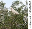Cheeky white corellas sitting in a green olive street  tree eating the fruit. - stock photo