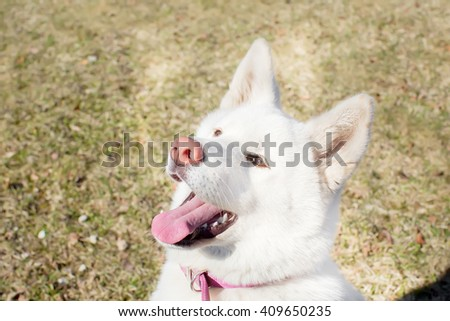 Cheerful Dog. breed Akita inu . the age of half a year. white color - stock photo