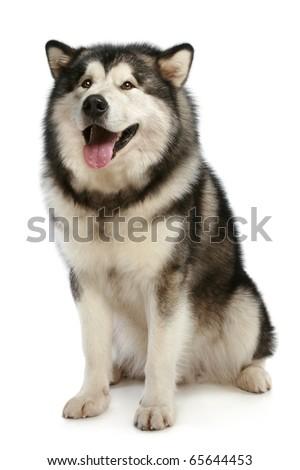 Cheerful malamute sits on a white background - stock photo