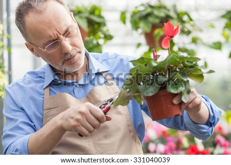 Cheerful old gardener is standing and holding flowerpot at greenhouse. He is cutting plant with scissors. The man is working with concentration - stock photo