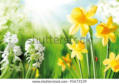 Cheerful Spring Bulbs. Background of flowering white narcissus and yellow daffodils under spring sunshine - stock photo
