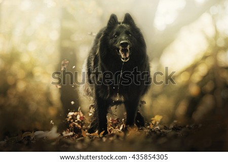 cheerful, young, beautiful, witty and quick, playful black belgian shepherd dog breed Chien de Berger Belge - Groenendael running in summer forest with sunset - stock photo