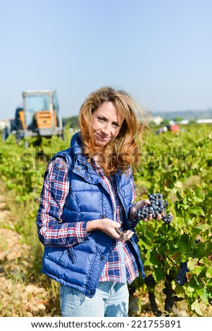 cheerful young woman harvesting grapes in vineyard during wine harvest season in autumn  - stock photo