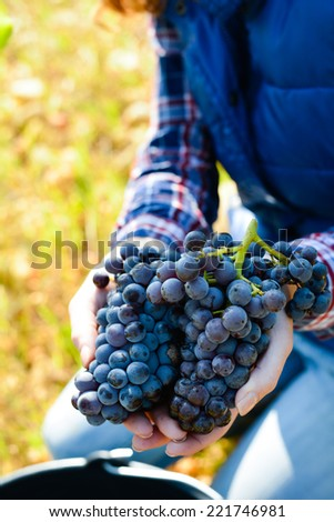 cheerful young woman oenologist wine specialist checking grapes ready to be harvested in vineyard during wine harvest season autumn  - stock photo