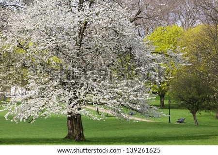 Cheery trees blooming at spring, Green Park, London - stock photo