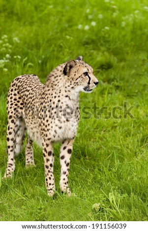 Cheeta - stock photo