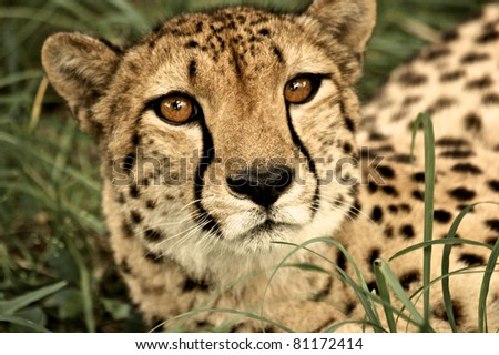 Cheeta close up at Kruger National Park, South Africa - stock photo