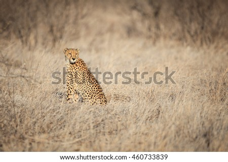 Cheetah - stock photo