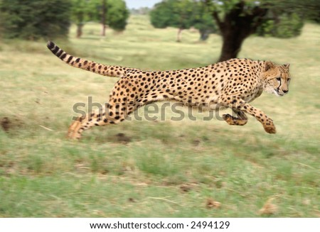 Cheetah accelerating to full speed - stock photo