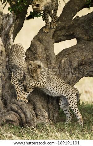 Cheetah, Acinonyx jubatus, cubs playing, in gardenia tree, Masai Mara Game Reserve, Kenya, East Africa - stock photo