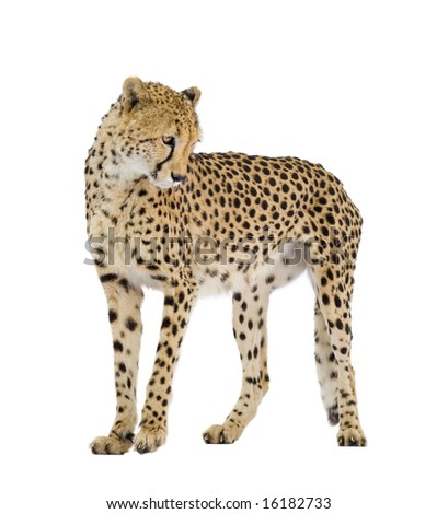 Cheetah - Acinonyx jubatus in front of a white background