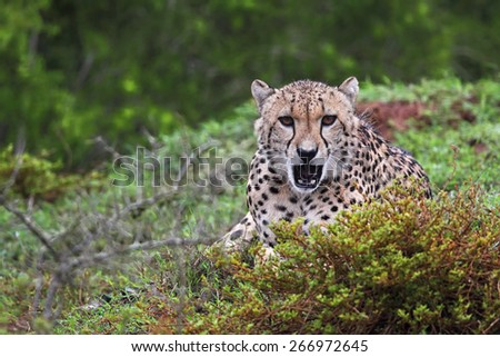 Cheetah (Acinonyx jubatus) in the Amakhala Game Reserve, Eastern Cape, South Africa.