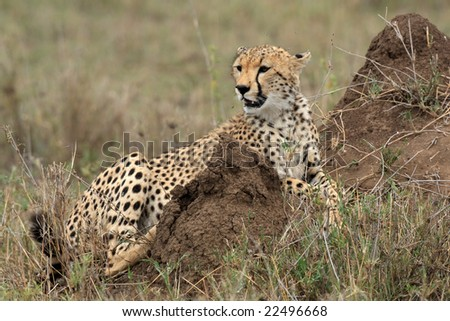 cheetah acinonyx jubatus in the serengeti national park Tanzania