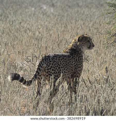 cheetah (Acinonyx jubatus) is a big cat in the subfamily Felinae that inhabits most of Africa and parts of Iran. It is the only extant member of the genus Acinonyx.