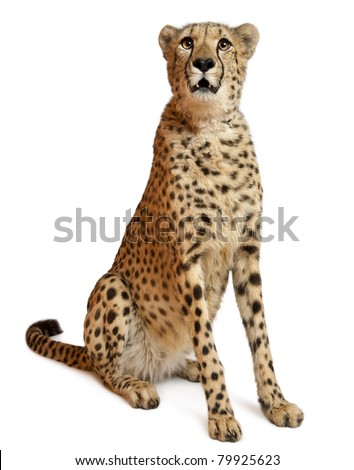 Cheetah, Acinonyx jubatus, 18 months old, sitting in front of white background - stock photo