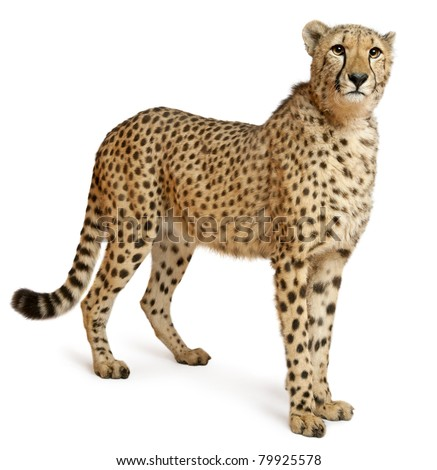 Cheetah, Acinonyx jubatus, 18 months old, standing in front of white background - stock photo