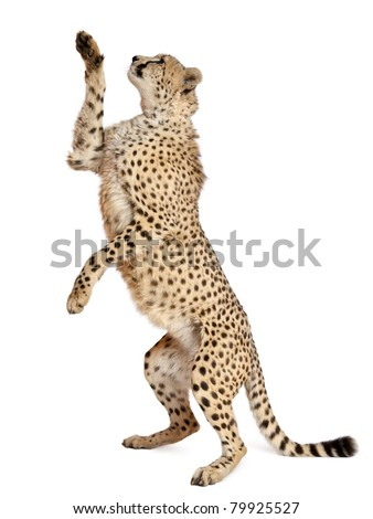 Cheetah, Acinonyx jubatus, 18 months old, standing up and reaching in front of white background - stock photo