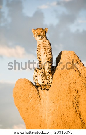 Cheetah (acinonyx jubatus) on Termite Mound in Namibia