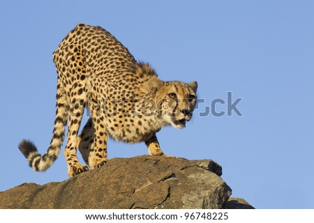 Cheetah (Acinonyx jubatus) on top of a rock, South Africa - stock photo
