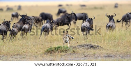 Cheetah (Acinonyx jubatus) pursuit a wildebeest, Masai Mara, Kenya - stock photo