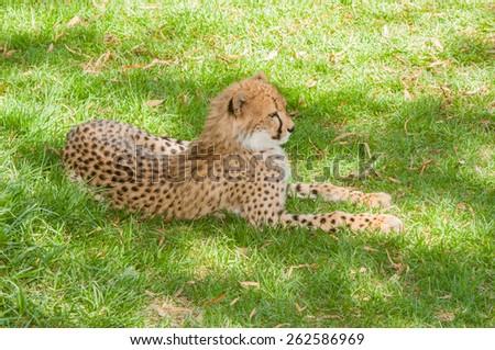 Cheetah, Acinonyx jubatus, relaxing in the shade - stock photo