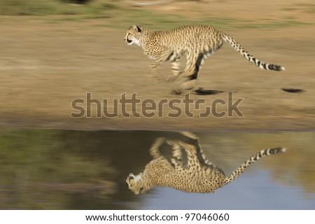 Cheetah (Acinonyx jubatus) running - stock photo