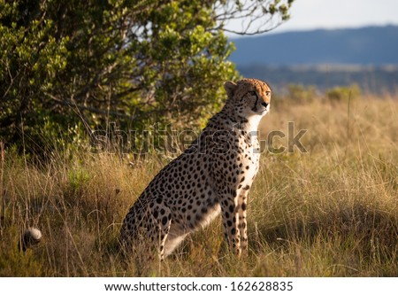 Cheetah (Acinonyx jubatus) sitting upright while and looking for prey at a game reserve in South Africa. - stock photo